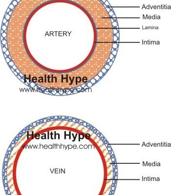 Artery Vein Structure