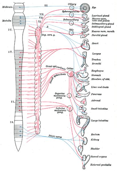 Autonomic sympathetic and parasympathetic nervous system
