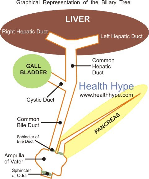Bile Duct Anatomy Parts And Pictures Of Liver Gallbladder Drainage