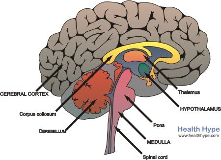 Pituitary Gland Anatomy Location Hormones And Pictures