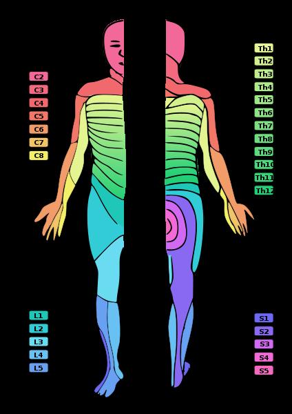 Dermatomes of Human Skin