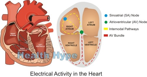 Electrical conduction system and activity of the human heart how does the sa node work ccuart Choice Image