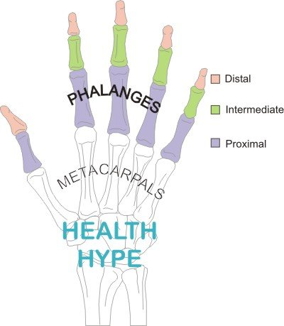 Finger Anatomy, Bones, Joints, Muscle Movements and Nerves ...