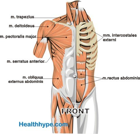 Chest Muscle Diagram Front Trusted Wiring Diagram