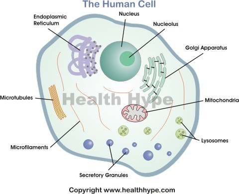 Diagram Of The Human Cell Ilrating Diffe Parts