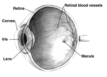 The human eye eyeball diagram parts and pictures healthhype a specialized depression on the macula known as the fovea centralis is the area of the most acute vision picture from wikimedia commons ccuart Image collections