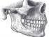 human jaw