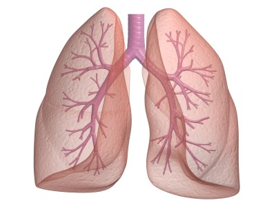 Lungs, trachea, bronchial passages
