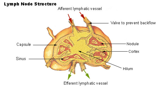 Lymphatic system drainage functions organs healthhype do enter the blood stream are later filtered partly by the liver but primarily by the spleen which is seen as the largest lymph node in the human body ccuart Images