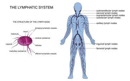 lymph node anatomy
