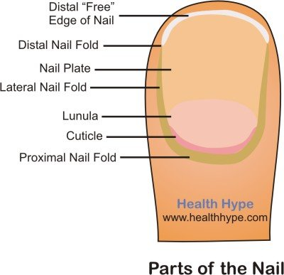 Parts Of The Nail And Pictures Human Finger And Toe Healthhype