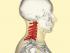 neck vertebrae