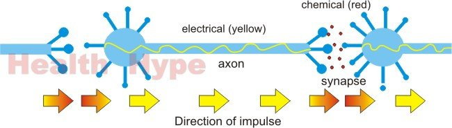 Neuron nerve cell healthhype labeled diagram ccuart Choice Image