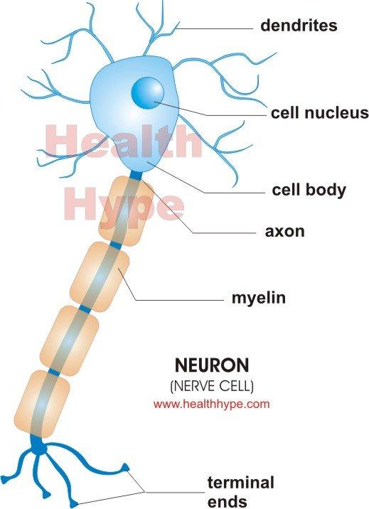 Neuron nerve cell healthhype neuron nerve cell ccuart Images