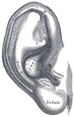 outer ear pinna