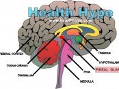 pineal_gland