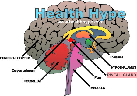 Pineal Gland Anatomy (Parts), Function and Pinealoma (Tumor ...