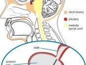 Pituitary Gland Location
