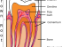 pulp of tooth