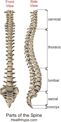 Parts Of The Spine Anatomy Picture Spinal Column Backbone
