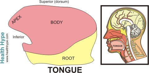Tongue anatomy parts pictures diagram of human tongue parts of the tongue ccuart Images