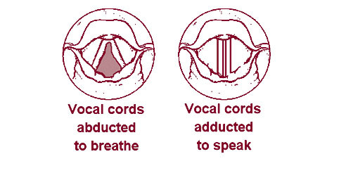 Vocal cords during breathing and speaking